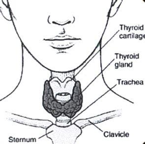 diagram of thyroid gland thyroid optimization in green bay wi