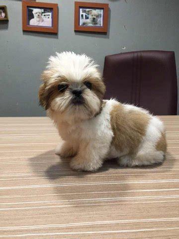 shih tzu coat type shih tzu puppies sold 2 years 3 months shih tzu coat small size from klang