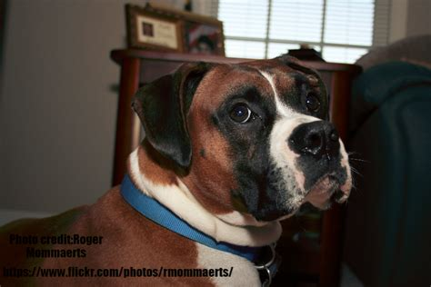 boxer puppy names boxer names and boxer info and health tips