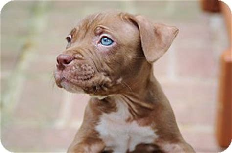 pitbull puppies md the hershey s kisses adopted puppy reisterstown md american pit bull terrier mix