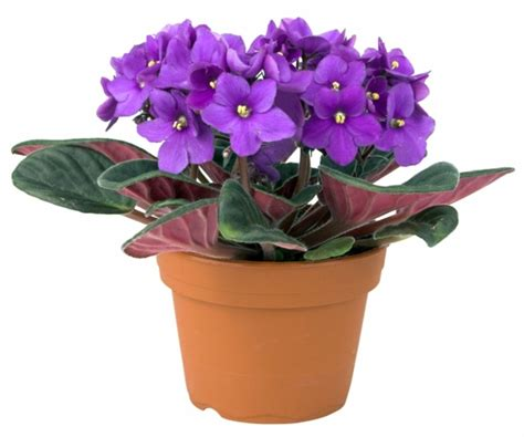 easy indoor flowers sturdy houseplants popular easy care potted plants