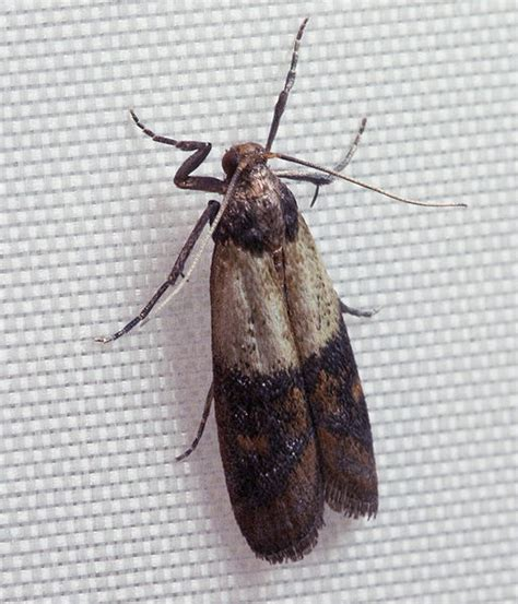 moths in kitchen cabinets how to get rid of kitchen moths the eleventh plague