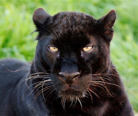 black leopard black panther cats and cat likes pinterest