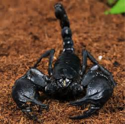 Asian Forest Scorpion   Heterometrus sp. for Sale   PetSolutions