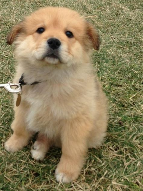 golden retriever chow puppies 69 best images about so fruffy i m gonna die on pictures of dogs puppys