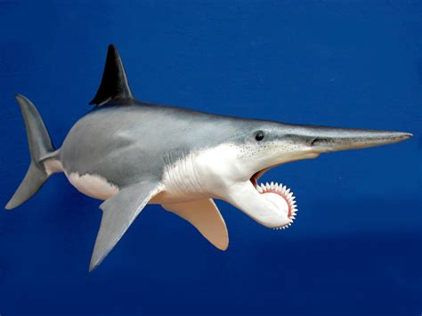 Gergaji Viper the buzz saw jaw helicoprion