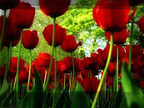 imagenes de numa rojas fotos de flores rosas rojas para descargar imagenes de