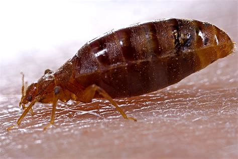 bed bug bites signs prevention treatment panther pest control