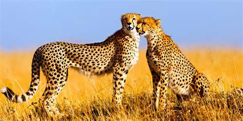 best safari in kenya travel to kenya kenya vacation packages kenya safari