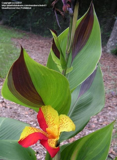 Tuneeca Sale 40 Shocking Gaudy canna cleopatra their leaves are intriguing