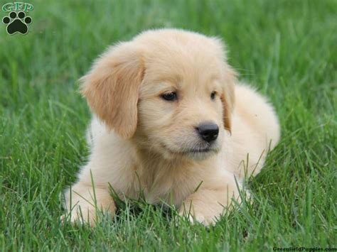 golden retriever puppies in pittsburgh pa golden retriever puppies for sale in pa litle pups