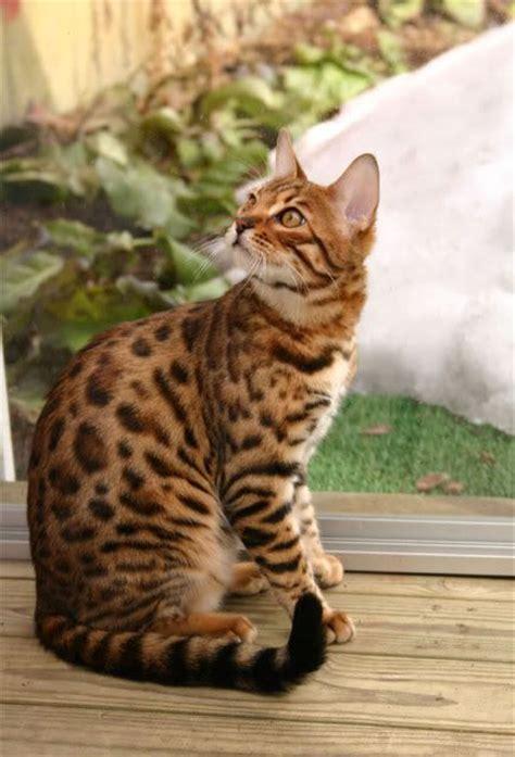 bengal house cat bengal house cat so cute animals pinterest