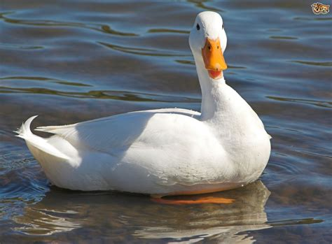 duck breeds 5 duck breeds that are great to keep in the garden pets4homes