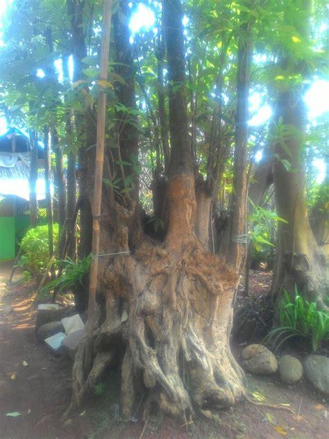Jual Lu Hias Minimalis Jakarta jual pohon pule besar tanaman hias tanaman pelindung