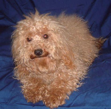 references photos thomas kennel maltese poodles maltese poodle photograph maltese poodle pictures pictur
