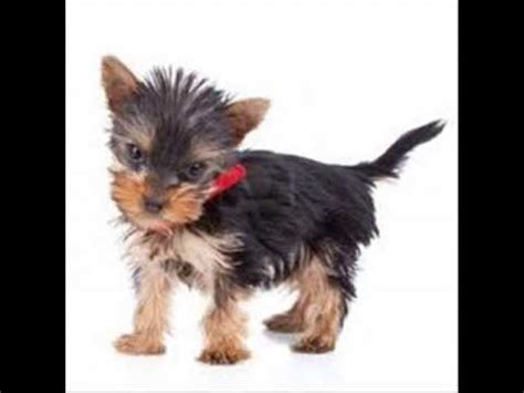 yorkie information and facts adorable terrier puppies compilation funnydog tv