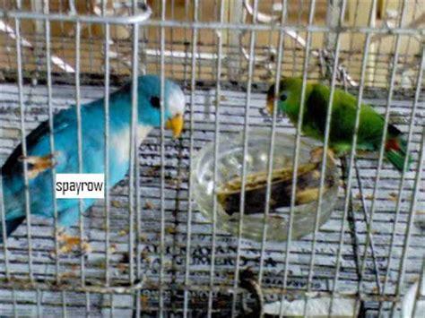 Harga Pakan Burung Nektar tangkarkan serindit dan saatnya go national klub burung