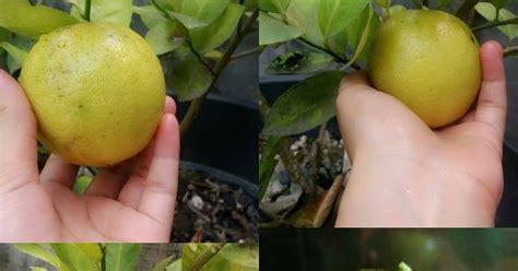 tips  menghilangkan jerawat  jeruk lemon