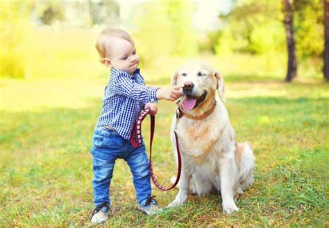 labrador or golden retriever best family dogs golden retriever dogs puppies pet symptoms breeds