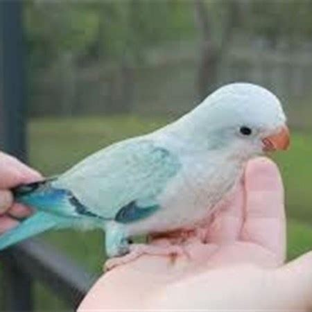 quaker parrot 131678 for sale in chicago il