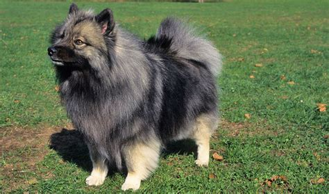 keeshond dogs keeshond breed information