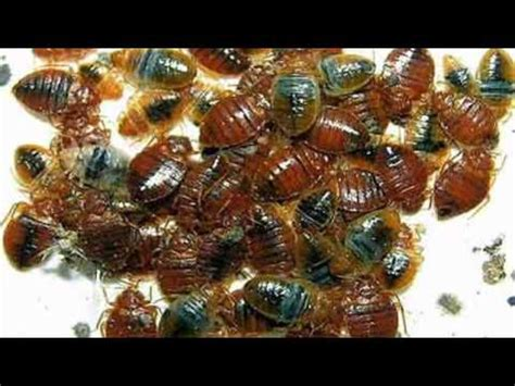 diatomaceous earth and bed bugs diatomaceous earth bed bug killer naturally kill bed bugs youtube