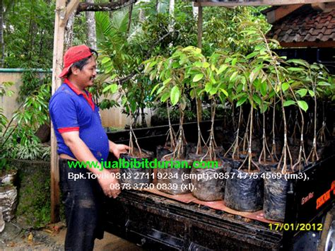 Bibit Durian Petruk Kaki 3 bibit durian petruk archives bibit durian montong bibit