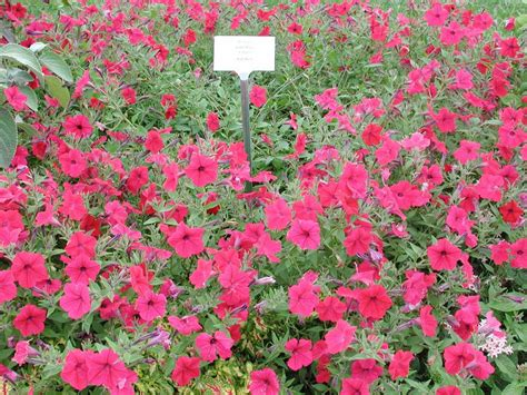 petunia tidal wave cherry annual flower research at