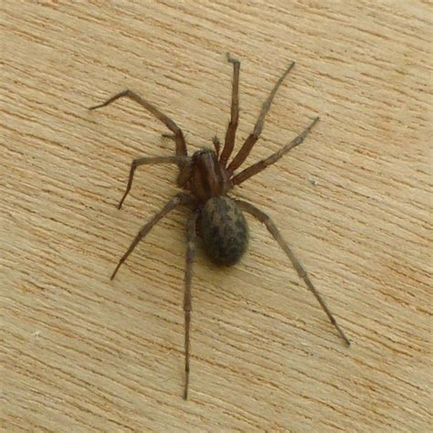 House Spiders by Common House Spider Tegenaria Domestica Naturespot
