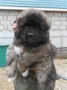 Are used as russian prison guard dogs well the dog breeds picture