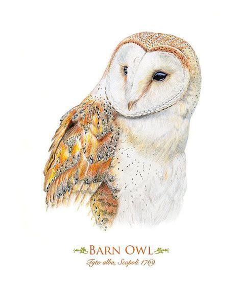 printable barn owl pictures barn owl print illustrations pinterest