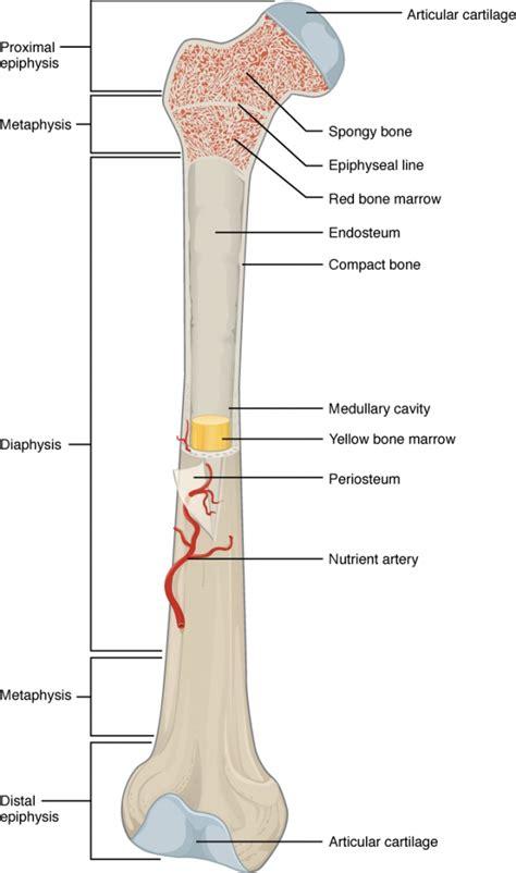 femur diagram labeled femur anatomy diagram human anatomy lesson