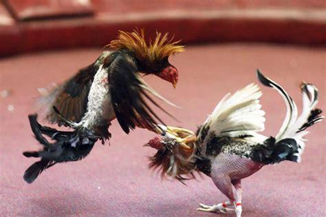 pelea de gallos en cupey san juan pr foto ang233lica allen peleas de turismo alternativo en puerto rico 161 p 237 calo gallo