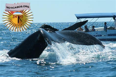 imagenes impresionantes de ballenas impresionantes fotos de ballenas en los cabos noticabos