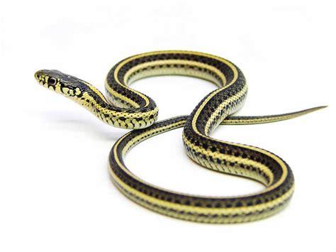 Garden Snake With Yellow Stripe Plains Gartersnake