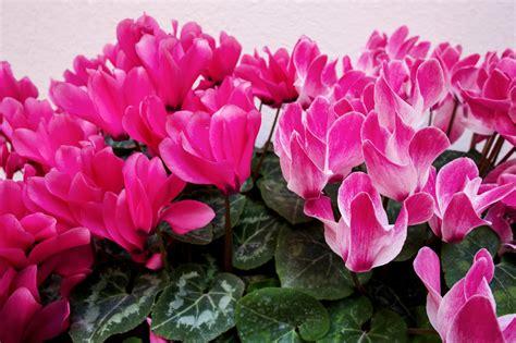 plant   month cyclamen