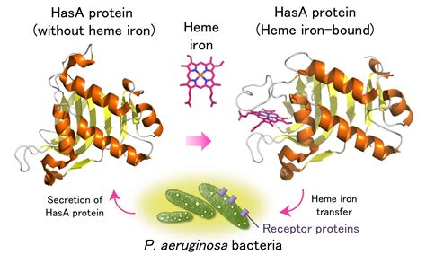 protein of pseudomonas combatting hospital acquired infections with protein metal