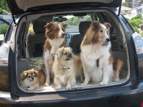 dogs in cars limo service and more quest canine services