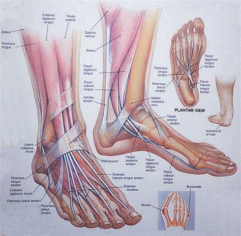 paw anatomy foot and ankle anatomy san diego coronado la jolla mar poway santee rancho