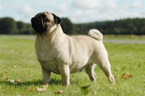 are pugs apartment dogs apartment dogs 10 low maintenance dogs for apartment dwellers curiosity aroused
