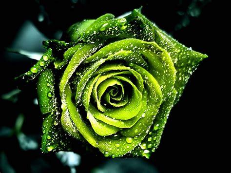 imagenes de rosas verdes image gallery imagenes verdes