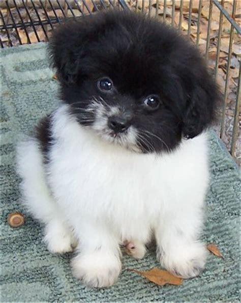 pomeranian x poodle 25 pomeranian cross breeds you to see to believe