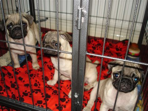 registered pug breeders kc registered pug puppies at a reduced price yeovil somerset pets4homes