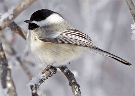 bird sounds and songs of the black capped chickadee the