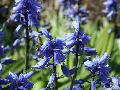 blue flower bulbs choosing blue bulbs for your garden hgtv