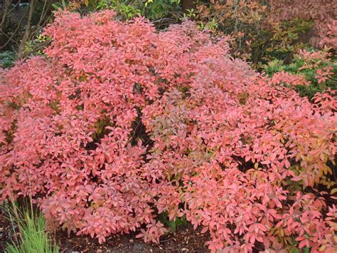 Rhododendron Species Botanical Garden by Gallery Rhododendrons Rhododendron Species Botanical Garden