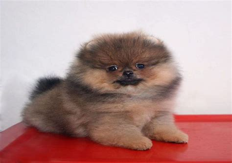pomeranian brown 12 things you need to about teacup pomeranian breeds
