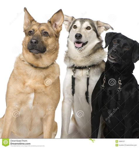 crossbreed dogs three crossbreed dogs royalty free stock photography image 4989107