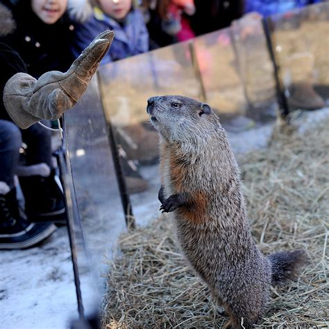 groundhog day nobody cares groundhog ms g predicts more winter at drumlin farm in