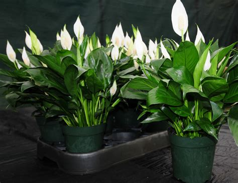 5 big and beautiful indoor plants flower power beautiful large peace lily spathiphyllum in bloom 6